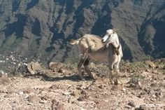 You will always meet goats when you go hiking on La Gomera. I met this one on La Mérica.