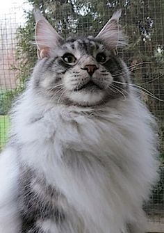 Maine Coon - CH Maine Delite's Silver Spur