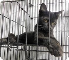 Montgomery City, MO - Domestic Shorthair. Meet Gypsy, a kitten for adoption. http://www.adoptapet.com/pet/16548286-montgomery-city-missouri-kitten