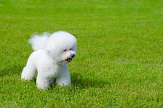 11 Fluffy Facts About the Bichon Frise | Mental Floss - My favorite fluffy puppy