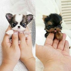 small dogs We want to bet that these adorable little pooches will certainly melt any type of pet lovers heart. Top 10 Small Dog Breeds Choosing The Right Dog for You Mini Dogs Breeds, Best Small Dog Breeds, Best Small Dogs, Cute Small Dogs, Baby Animals Super Cute, Cute Baby Dogs, Cute Dogs And Puppies, Cutest Dogs, Baby Puppies