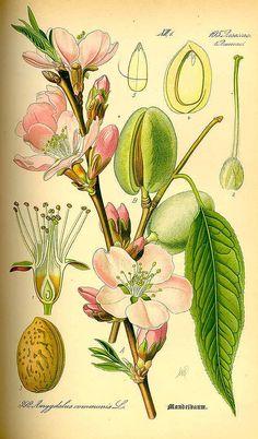 Thomé, O.W., Flora von Deutschland Österreich und der Schweiz, Tafeln, vol. 3: t. 392 (1885)