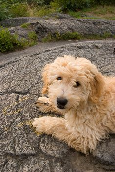 Adventures of Atlas, a #goldendoodle . Pictures chronicling his first year --  interesting to see how he changes.