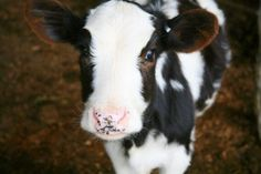a gorgeous black and white little cow