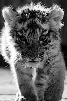 the cutest littlest tiger in the world