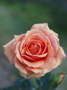 Hybrid Tea Rose - Rose, Ashram, @ T.Kiya