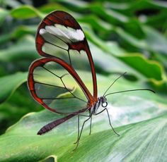 25 Incredible Insects Sure To Leave You Amazed: Glasswinged Butterfly - Mainly found in Central and South America, the glasswinged butterfly is a brush-footed butterfly famous for its transparent wings that can be as long as 6.1 cm (2.4 in). The tissue between the veins of its wings looks like glass, as it lacks the colored scales found in other butterflies.