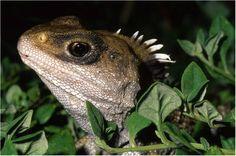 Sphenodon punctatus