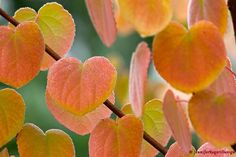 fall foliage on katsura tree and lovely browned sugar smell in autumn Garden Trees, Plants, Foliage, Little Gardens, Foliage Plants, Katsura Tree, Japanese Garden, Deciduous Trees, Trees To Plant