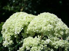 hortensien hydrangea on pinterest hydrangeas white hydrangeas and hydrangea garden. Black Bedroom Furniture Sets. Home Design Ideas