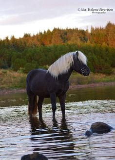 Unusual colored horse, black horse with a whitemane and tail standing in the stream. Straumur, Icelandic. © Ida-Helene Sivertsen Photography