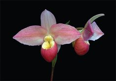 Phragmipedium Grouville A second-generation besseae hybrid within the genus. Phragmipedium which is found in Central and South America. There are roughly 30 species in the genus. This cross was created by the Eric Young Orchid Foundation in 1996 on Jersey in the Channel Islands.     Don Dennis