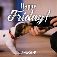 videos to share with friend Chien Jack Russel, Jack Russell Puppies, Jack Russell Terrier, Friday Dog, Friday Humor, Happy Friday, Funny Dogs, Funny Animals, Cute Animals