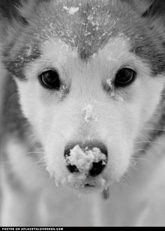 Husky in the snow <3