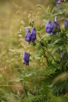 #Monkshood