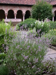 the cloisters, nyc - medieval garden:  lavender ...