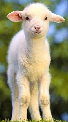 Lamb or baby sheep. Not a lamb chop, or spring lamb meat but an animal ! You don't need to eat meat to live a healthy life. Baby Sheep, Cute Sheep, Sheep And Lamb, Cute Baby Animals, Farm Animals, Animals And Pets, Beautiful Creatures, Animals Beautiful, Lamas
