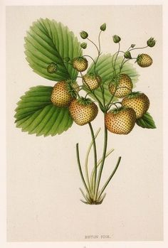 STRAWBERRY BICTON PINE  Vintage Botanical Print    page size approximately 8.5x12 inches    This print is an actual page taken from a book published