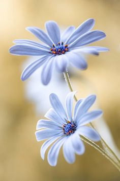flower garden care ~~Cape Daisy by Mandy Disher~~ Amazing Flowers, My Flower, Pretty Flowers, Flower Power, Wild Flowers, Daisy Flowers, Spring Flowers, Beautiful Pictures Of Flowers, Tropical Flowers