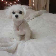 - - Follow @maltese.dog.love for more via @evergreen_sol_ Love to tag? Please do! - #maltese #malteseofinstagram #maltesers #malteseofficial #maltese101 #malteselovers #maltesepuppy #maltesedog #maltesemix #maltesenation #maltesegram #malteseworld #malteseoftheday #malteseworld_feature #malteseterrier #maltesedogs #malteselife #malteseofig #malteses #maltesesofinstagram #maltesecross #malteseshitzu #malteseclub #maltese_thecute #maltesestagram #maltese_feature #malteseislands #maltese_101…