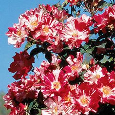 Here is a Rose that has already stood the test of time, though it was released just a few years ago! Extensively trialed before introduction, an immediate award winner, and the recipient of praise from gardeners across the country.