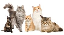 Maine Coon cat groups