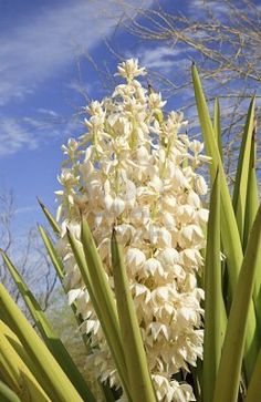 White Yucca Cactus Flowers Blossums