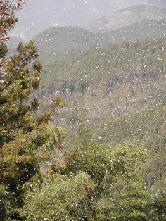 桜吹雪・奈良・吉野山にて
