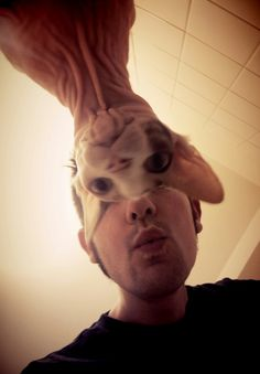 "Edit this a little, and you have a mardi gras mask-N. ""Sphynx cat gets in the way of selfie' Whiskers On Kittens, Cats And Kittens, Dog Bearding, Cornish Rex Cat, Sphinx Cat, Devon Rex, Sphynx, Maine Coon, Cat Lady"