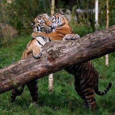 Tigers.....