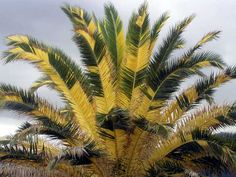 PACSOA - Phoenix canariensis variegated (one of a kind! Palm Tree Flowers, Palm Trees, Orchid Seeds, Flower Seeds, Bonsai Garden, Garden Pots, Tropical Garden Design, Japan Garden, Variegated Plants