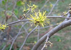 Witch hazel flowers (Hamamelis virginiana). Our native witch hazel blooms in the fall (Asian species and H. vernalis of the Ozarks bloom in winter - Jan & Feb) - this was taken in October 2006. Typical of shady woodlands, it is also found in rocky outcrops of Inwood as well.
