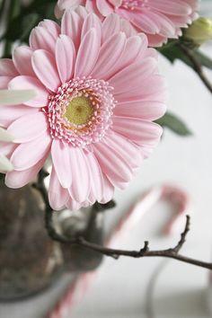 ❥ pink gerbera daisy my fav fav fav flowers! Pink Gerbera, Pink Daisy, Pale Pink, Gerbera Flower, My Flower, Pink Flowers, Beautiful Flowers, Colorful Roses, Pink Petals