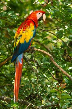 Scarlet Macaw by Juan Carlos Vindas on 500px