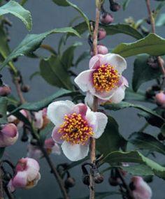 Tea Plant Pink