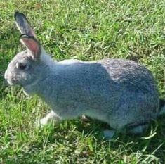 8 Ideas De Conejos En 2021 Conejos Razas De Conejos Chinchillas