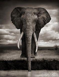 elefante africano de frente - Buscar con Google