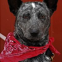 Pictures of Sadie a Australian Cattle Dog for adoption in Tinley Park, IL who needs a loving home. Tinley Park Illinois, Australian Cattle Dog, Sadie, Dog Stuff, Rescue Dogs, Pet Adoption, Safari, Meet, Animals