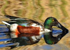 Northern Shoveler. Seem to be getting more common. A large flock of about 90 at Middle Creek WMA began swimming in a circle and feeding on stirred-up aquatic life.