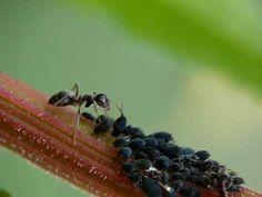 Wat doen mieren met luizen? Lees op het mierenweg.nl