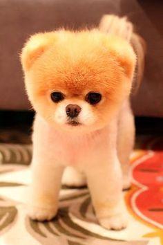 Cachorro de Pomerano