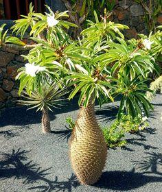 Pachypodium lamerei Palm Garden, Dry Garden, Garden Yard Ideas, Tropical Garden, Weird Plants, Unusual Plants, Cool Plants, Rare Flowers, Exotic Flowers