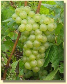 Astuce : Comment peler du raisin | Recettes Maroc