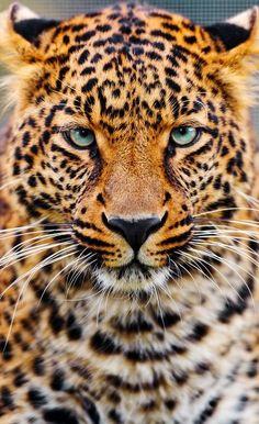 Gorgeous wild cat