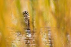 Short-eared Owl, by Liron Gertsman.
