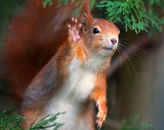 Red squirrel says ohai