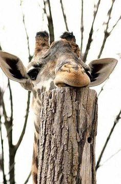 giraffe head rest :: I wonder, do they get neck aches;(