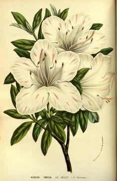 v.13 (1858) - Flore des serres et des jardins de l'Europe - Biodiversity Heritage Library