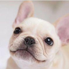 French Bulldog Cuteness