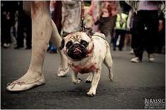 Those ausies have a sense of humor :: zombie pug   Tumblr